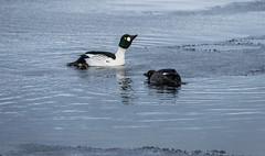 Mating time (rugbike) Tags: animal goldeneye bird waterfowl