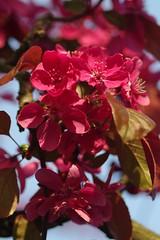 Pink blossoms (José Kroezen) Tags: blossom lente rijswijk nederland thenetherlands closer closeup spring tokina 90mm macro pentax pentaxk30