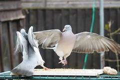 21 April 2017 (36) (AJ Yakstrangler) Tags: yakstrangler pigeon pigeons
