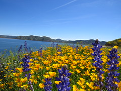 diamond valley lake wildflowers (1) (gskipperii) Tags: wildflowers flowers colors gorgeous lake water backdrop riversidecounty purple orange fauna southerncalifornia nature outdoors beauty colorful