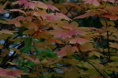 1391-39L (Lozarithm) Tags: oldforge leaves acers maples pentax zoom k50 55300 hdpda55300mmf458edwr