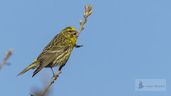 Verdecillo (Serinus serinus) (jsnchezyage) Tags: verdecillo serinusserinus ave pájaro fauna naturaleza bird birding