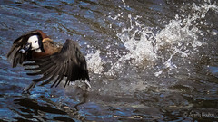 I can walk I can fly (JKmedia) Tags: whitefaced whistling duck dendrocygna viduata boultonphotography newquayzoo water action wings lake ripples 2017 one aquatic walking flying onwater splashing