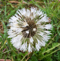 Wet Dandelion (Claire-Louise Beyga) Tags: flower dandelion raindrops rain drops wet spring springtime april grey white green good friday iphone iphone6s