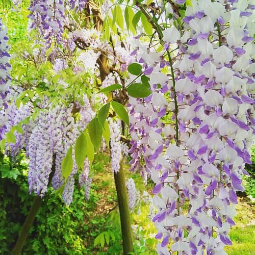 E Glicine sia! #spring #flowers