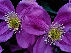 Central! (springblossom3) Tags: clematis flower climber nature macro garden
