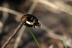 At The End Of The Flagpole (gripspix (OFF)) Tags: 20170318 kirchberg sulz badenwürttemberg deutschland insect insekt marienkäfer ladybird ladybug macro makro harmoniaaxyridisfconspicua germany