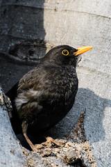 500_9851 (Kamen Minkov) Tags: birds turdusmerula кос птици черендрозд