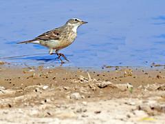 Bisbita alpino (Anthus spinoletta) (30) (eb3alfmiguel) Tags: aves pajáros insectívoros passeriformes motacillidae bisbita alpino