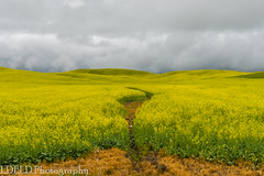 NT3.0033-CW1605618_38687 (LDELD) Tags: palouse pullman washington unitedstates us canola field plouse flowers yellow storm clouds stormy spring