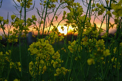 (frogghyyy) Tags: sun macro sky sunset sunlight yellow flower fiore fiori campagna outdoor nature natureshot naturescene naturephoto natura natur canoneos1000d canonphotography macrophotography macros macroscene bokeh