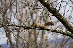 Quand le soleil se montre, les écureuils gambadent (Melti Lanista) Tags: écureuil squirrel norvège norway oslo printemps spring arbre tree animal