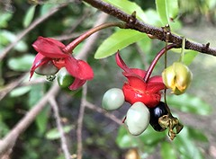Mickey Mouse yellow flower and developing seeds together (jungle mama) Tags: mickeymouseplant mickeymouse red black green seed yellowflower tropicalshrub ngc