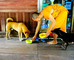 ,, Sad Day ,, (Jon in Thailand) Tags: monk rocky littlestubby dog dogs k9 k9s jungle street streetphotography dogbowl yellow blue green reflection sandals tail streetphotographyjunglestyle eyes orange woodfloor nikon d300 nikkor 175528 dogkibble paw foot hand arm littledoglaughedstories
