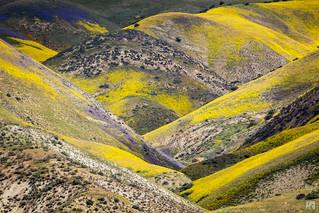 Super Bloom at Temblor Range