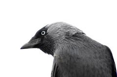 Hooded crow (The kun) Tags: nikon nikond5000 werner animal animalplanet bird crow hoodedcrow nikkor55200