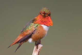 Allen's Hummingbird (m)