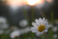 Nature light (Argiris Papaioannou) Tags: athens landscape nature nikon d3300 forest flower margaret sunset greece shine flowers green