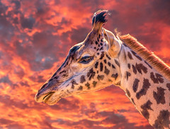 Giraffe Profile at Sunset (FotoGrazio) Tags: africa africansafari giraffacamelopardalis orange red safari sandiegozoo waynegrazio waynesgrazio animal artofphotography clouds colorful composite composition fotograzio fur giraffe hair herbivore longneck mammal nature portrait portraiture redandorange spots sunset tallestanimal wildanimal wildlife