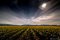 Tulips (Rohan Mhatre) Tags: 5dmarkii america canon colorphotoaward explore explored northwest scenery seattle usa view washington tulip festival skagit valley flowers nature state 2017 searchthebest supershot landscape field outdoor grass plant
