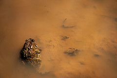 Love Puddle (Anaxyrus Americanus) (jswigal) Tags: archers fork wayne national forest ohio marietta nfs outdoors outside woods trees plants nature landscape sony alpha rokkor a7r a7 ilce toad toads mating sex reproduction spawn spawning water mud tadpoles female male brown legs eyes wildlife animal amphibian