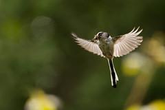 Bringing in dinner....... (trevorwilson1607) Tags: longtailedtit flying feeding backlit outdoors wildlife rspb pulborough countryside trees nikond500 sigma500f4 trevorwilson1607