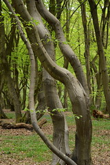 Twisted Sisters (dhcomet) Tags: bricket wood herts hertfordshire woodland common tree twisted bent