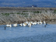 Pelicans and Cormorants (BriarCraft) Tags: americanwhitepelican bird cormorant pelican water