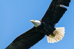 Bald Eagle (mjeedelbr) Tags: bald eagle