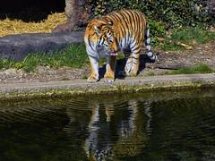 Tigerzunge (Helmut Reichelt) Tags: zunge spiegelung wasser tiger sibirischertiger april frühling münchen zoo tierpark hellabrunn oberbayern bavaria deutschland germany panasonic lumix fz200 captureone10 colorefexpro4