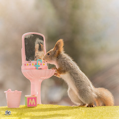 The m from mirror (Geert Weggen) Tags: red nature animal squirrel rodent mammal cute look closeup stand funny bright sun backlight staring watching hold glimpse peek up tail message communication letter woodenframe capital numbers school child education learn baby word alphabet teacher mirror hink happy geert weggen sweden jämtland ragunda bispgården