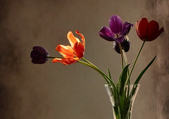 like a flame (Franziska`s photo art) Tags: tulips stilllife natural light flame texture