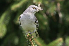 Mockingbirds 4-29-2017-1 (Scott Alan McClurg) Tags: aves mimidae animal back backyard bird blue dcarolinensis delaware dumetella forest life mockingbird nature naturephotography neighborhood perch perching portrait spring tree wild wildlife woods yard
