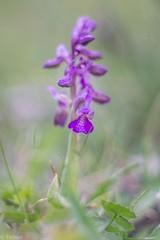 new lens - field test (Tschissl) Tags: anacamptis orchideen österreich leobenumgebung vintagelens location zeissikontalon2885 orchids steiermark tollinggraben at