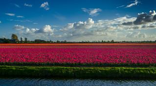 Tulip Fields near Lisse