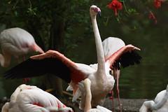 Greater Flamingo (scv1_2001) Tags: nikon nikon70200mmvrii nikond750 taipeizoo bird animal 台北市立動物園