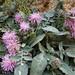 Centaurea raphanina subsp. raphanina