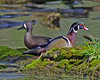 wood duck (k. kohler) Tags: bader