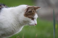 Gaze (Geraldine Curtis) Tags: cat churchyard morley derbyshire watch gaze tabby