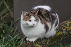 Watching... (Geraldine Curtis) Tags: cat churchyard morley derbyshire watch gaze tabby