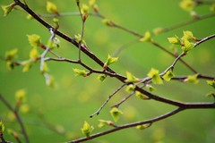 Spring has come (Miijau) Tags: green nature leaves spring birch finlandnature