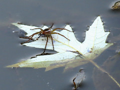 water spider with prey (natureburbs) Tags: nature spider canal leavesinwater waterspider newjerseynature