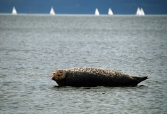 (zak355) Tags: animals scotland wildlife seal rothesay isleofbute