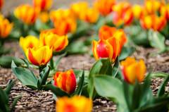 Pretty blooming tulips (m01229) Tags: arlington virginia unitedstates d7000