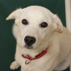 Molly(1) (Mary022378) Tags: dogs puppies naperville adopt adoptpetshelter