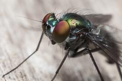reversed lens macro (dansshots) Tags: macro bug insect fly 24mm d3 reverselens reverselensmacro extensiontubes insectmacro bugmacro nikond3 extensiontubemacro 24mmprimereversed dansshots