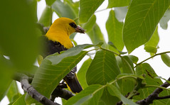 Golden Oriole - brief glimpse of a male at their Walnut tree nest
