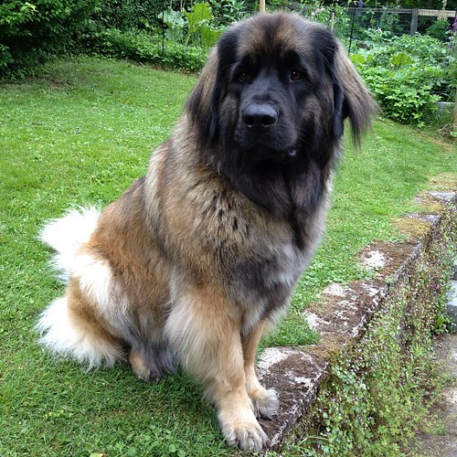 Millie after her bath... #giantbreedlovers #bigdogs #leonbergeroftheday #leonbergers #leonberger