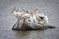 Pelican Rock (morrismulvey) Tags: pelicans rock manitoba hecla heclaisland morrismulvey