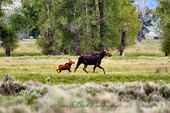 TETON NATIONAL PARK ... Mom & calf moose ... Keeping Up ... (Aspenbreeze) Tags: wildlife moose wyoming babymoose grandtetonnationalpark wyomingwildlife youngmoose femalemoose aspenbreeze moonandbackphotography bevzuerlein
